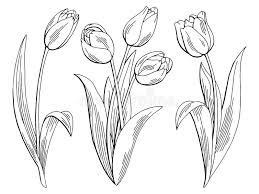 tulip flower graphic black white isolated sketch illustration