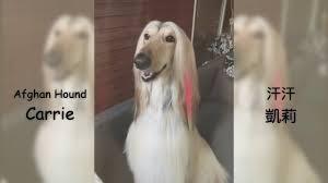 afghan hound grooming styles 汗汗凱莉 afghan hound carrie u0027s country romance braiding
