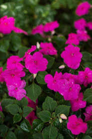 impatiens flowers flower seeds impatiens