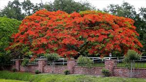 native screening plants fast growing chinese flame tree fast growing tree in mediterranean climates