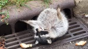 raccoon who overate got stuck in storm drain rescued by police