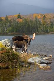 moose in maine where you can find them new england today