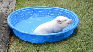 tiny pool little pig is utterly gleeful about his tiny swimming pool