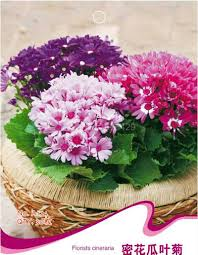 compare prices on cineraria plant online shopping buy low price
