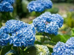 blue flowers blue flowers for your garden saga