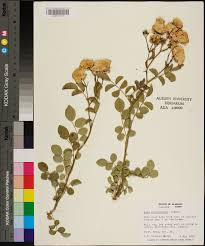 rosa luciae species page apa alabama plant atlas