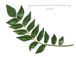curry leaves cliparts free download clip art free clip art