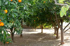 Stunning Small Backyard Orchard Pictures Design Ideas Amys Office - Backyard orchard design