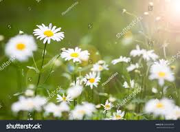 daisies sun light summer flowers daisy stock photo 285326630