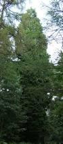 fast growing trees avoid fine gardening