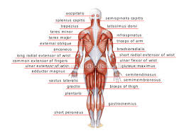 Human Anatomy Upper Body Human Anatomy Chart Page 33 Of 202 Pictures Of Human Anatomy Body