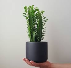 Cactus Planter by Cathedral Cactus In Black Oslo Planter Plantandpot Nz