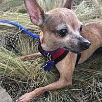 belgian sheepdog rescue ontario hamilton on pet adoption texas chihuahua rescue hamilton