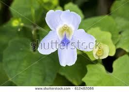 Blue Flower Vine - blue trumpet vine stock images royalty free images u0026 vectors