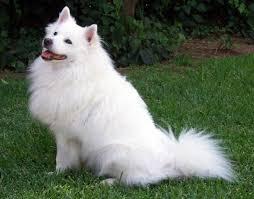 american eskimo dog vector 12 best american eskimo dog images on pinterest american eskimo