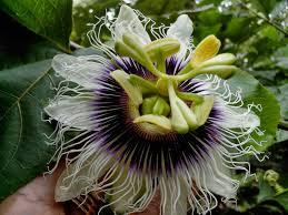 endah murniyati u0027s journey flower of the week passion fruit