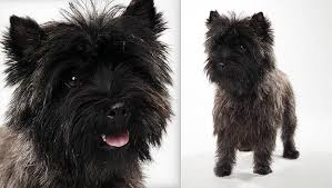 brindle cairn haircut cairn terrier dog breed selector animal planet