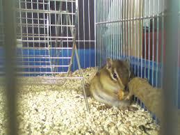 gabbie scoiattoli help consigli per il mio scoiattolino