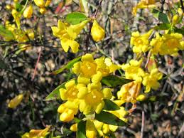 native oregon plants using georgia native plants what is that yellow blooming tree