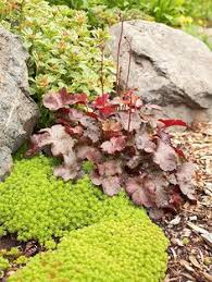 ajuga black scallop is a deer proof evergreen groundcover for