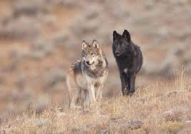 email national wolf plan could remove protections everywhere