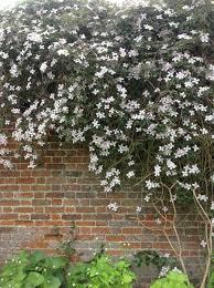 purple podded peas 100 flowers on the wall u2013 wisteria and