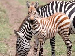 what color are a zebra u0027s black stripes during the first six months