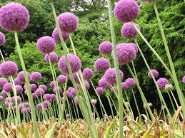 Scottish Rock Garden Forum by Allium Giganteum