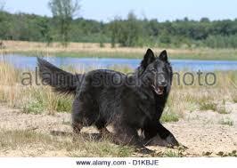 belgian shepherd groenendael for sale uk dog belgian shepherd groenendael stock photos u0026 dog belgian