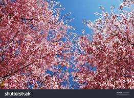 pink cherry blossom tree branches stock photo 97395866