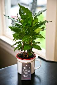 how to grow a coffee plant coffee plant plants and coffee