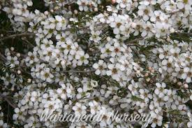 australian native hedge plants carpet plants native plant and revegetation specialists