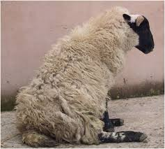 diagnosing limb paresis and paralysis in sheep in practice