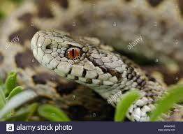 invertebrates portrait reptile snake vertebrates viper vipera