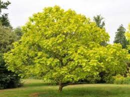 ornamental trees more for sale at trees direct