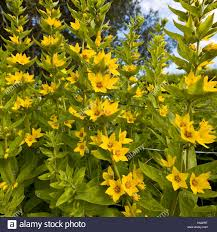 flowers in garden images yellow annual flowers in garden iceland stock photo royalty free