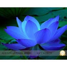 Cheap Flower Seeds - best 20 lotus flower seeds ideas on pinterest lotus flower