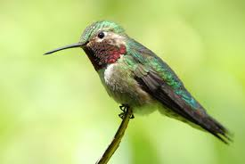 hummingbird nests wild about utah