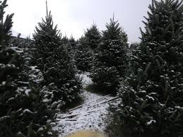 How Much Are Real Christmas Trees - how much can you carry picture of baldwin farms richmond