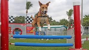 doggie fun zone florida u0027s favorite dog obstacle course event