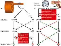 Tissue Renewal Regeneration And Repair Aging And Stem Cell Renewal Stembook