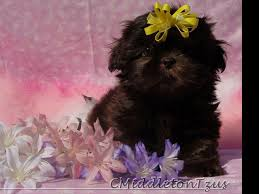 affenpinscher puppies cost caroline middleton shih tzu puppies for sale