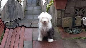 bichon frise 4 months old old english sheepdog my doggy rocks