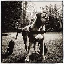 boxer dog health questions boxer dog degenerative myelopathy