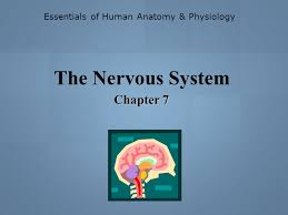 Essentials Of Human Anatomy And Physiology Notes Essentials Of Human Anatomy U0026 Physiology Ppt Video Online Download