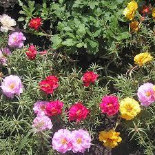 australian garden flowers australian seed portulaca double flowered mix