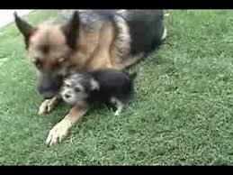 australian shepherd yorkie mix for sale a german shepherd dog and yorkie mix puppy youtube
