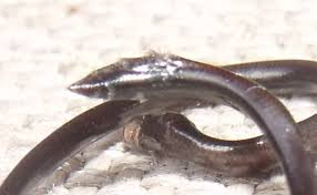 Blind Snake Hawaii Field Herp Forum U2022 View Topic Herps From The Big Island Of
