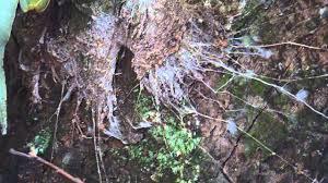 northen tree dwelling funnel web spider