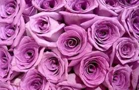 lavender roses 100 lavender roses from south america wholesale